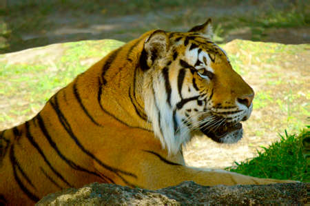 Bengal tiger Latin name Panthera tigris tigris