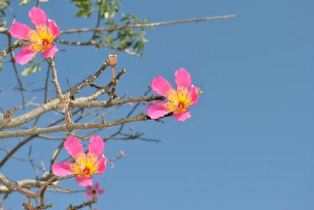 Floss Silk Tree Latin name chorisia speciosa