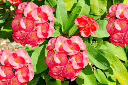 Crown of thorns Latin name Euphorbia millii flowers Stock Photo