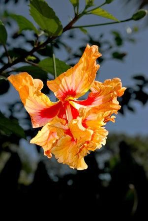Hibiscus rosa senensis double orange flower growing on a tree