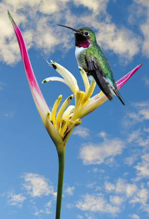 Humming bird perched on a Parrot's Beak Heliconia Latin name Heliconia psittacorum flower Stock Photo