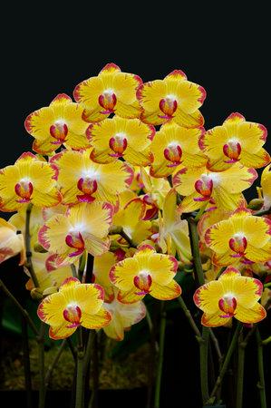 Phalaenopsis Papagayo orchid flowers on display
