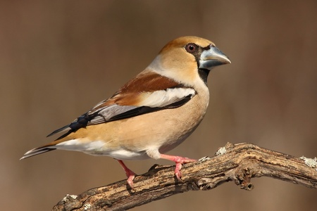 bird feeder: Hawfinch Stock Photo