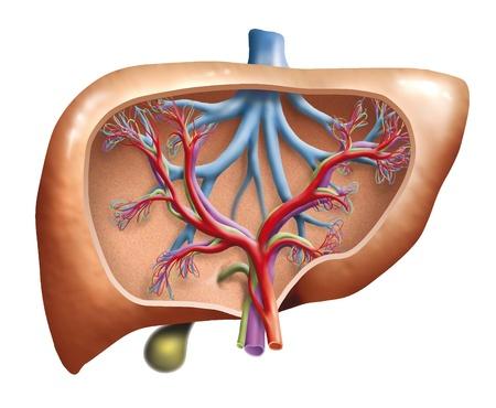 jaundice: Human Liver