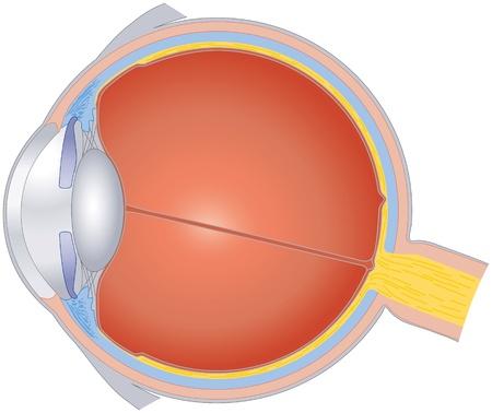 인간의 눈의 구조 일러스트