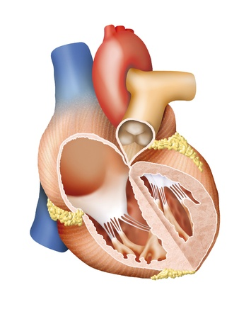 ventricle: Human Heart Cross Section Stock Photo