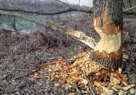 Thick tree trunk at the riverside, which was gnawed by a beaver