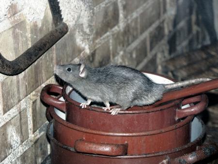 녹슨 냄비 요리의 더미에 주위 집 쥐 등반