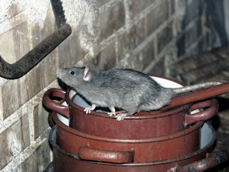 A house rat climbing around on a pile of rusty cooking pots