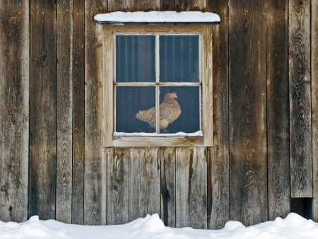 A hen sitting behind the window of a hen house observing the surrounding  Stock Photo