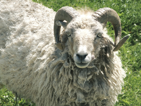 s horn: Ram, that looks straight in the eye and seems to attack immediately