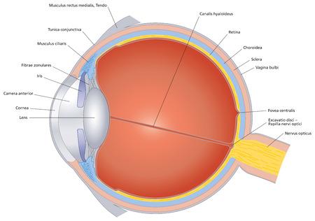 ojo humano: Estructuras del ojo humano marcado