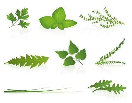 plantas medicinales: Hierbas - perejil, albahaca, tomillo, diente de león, ortiga, milenrama, las cebolletas y el cohete ilustración vectorial aislado sobre fondo blanco