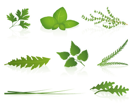 Herbs - parsley, basil, thyme, dandelion, stinging nettle, yarrow, chives and rocket  Isolated vector illustration on white background  Illustration