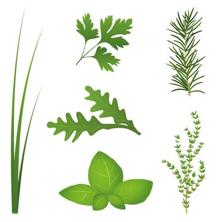 cebollin: Cebollino, perejil, rúcula, albahaca, el romero y el tomillo, los seis hierbas culinarias más populares para ensaladas y para cocinar ilustración vectorial aislados en fondo blanco
