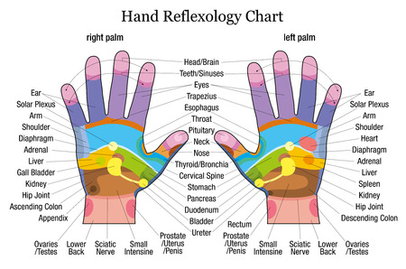 reflexology: Hand reflexology chart with accurate description of the corresponding internal organs and body parts  Vector illustration over white background