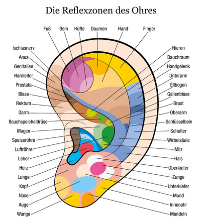 masseuse: Ear reflexology chart with accurate description of the corresponding internal organs and body parts  German Labeling  Isolated vector illustration over white background