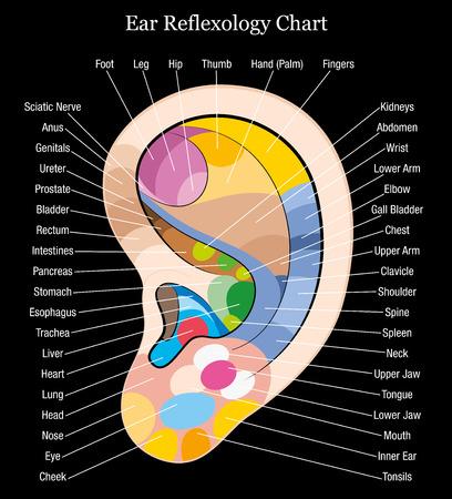 Gráfico de reflexología oído con la descripción exacta de la ilustración vectorial órganos y partes del cuerpo interno Aislado correspondiente en el fondo negro