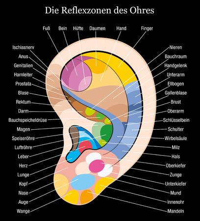 masseuse: Ear reflexology chart with accurate description of the corresponding internal organs and body parts  German labeling  Isolated vector illustration on black background  Illustration