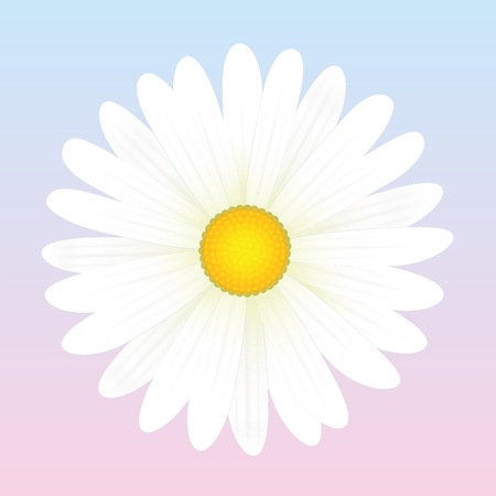 daisy vector: White daisy flower. Isolated vector illustration on light pink to blue background.