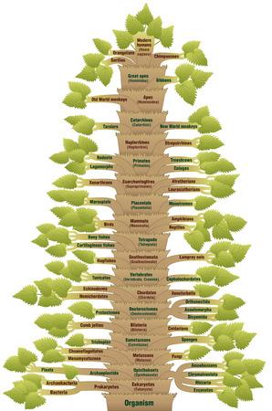 clasificacion: Clasificaci�n cient�fica detallada de los humanos modernos, desde ORGANISMO trav�s VERTEBRADOS trav�s de HOMO SAPIENS. Un �rbol filogen�tico con el tronco (pedidos  sub�rdenes) y ramas (formas de vida relacionadas). Vector. Vectores