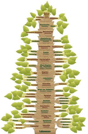 plants species: Classificazione scientifica degli esseri umani moderni, da ORGANISMO via VERTEBRATI fino alla HOMO SAPIENS. Un albero filogenetico con tronco (ordini  sottordini) e filiali (forme di vita legati). Etichettatura tedesco! Vettoriali