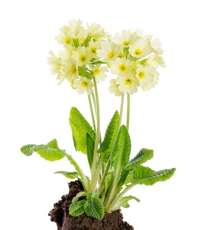 primula: Oxlip, Primula elatior on white background with earth. A species of flowering plant in the family Primulaceae. Stock Photo