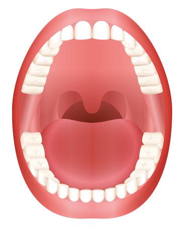 Dientes - abierta modelo boca adulto con la mandíbula superior e inferior y sus treinta y seis dientes permanentes. Resumen ilustración vectorial aislados en fondo blanco. Ilustración de vector