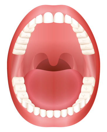 Teeth - open adult mouth model with upper and lower jaw and its thirty-six permanent teeth. Abstract isolated vector illustration on white background. Stock Illustratie