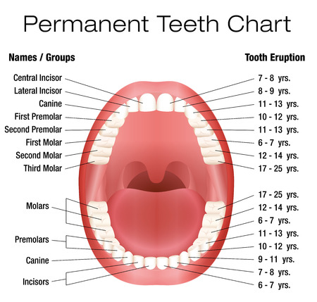 white teeth: Teeth names and permanent teeth eruption chart with accurate notation of the different teeth, groups and the year of eruption. Isolated vector illustration over white background.