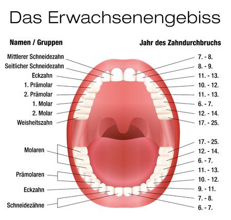 Teeth Namen und bleibenden Zähne Eruption Diagramm mit genauen Schreibweise der einzelnen Zähne, Gruppen und das Jahr der Eruption. Isolierten Vektor-Illustration auf weißem Hintergrund. Deutscher Beschriftung! Standard-Bild - 42102038