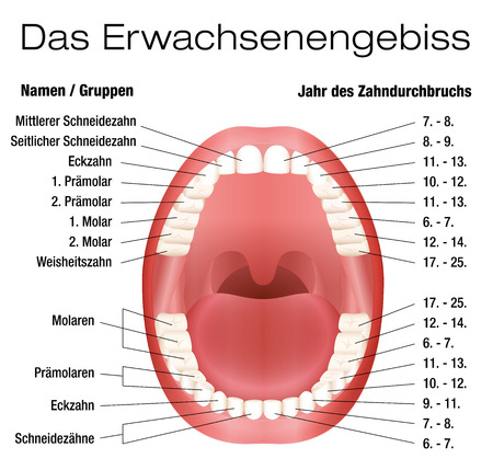 permanent: Teeth names and permanent teeth eruption chart with accurate notation of the different teeth, groups and the year of eruption. Isolated vector illustration over white background. GERMAN LABELING!