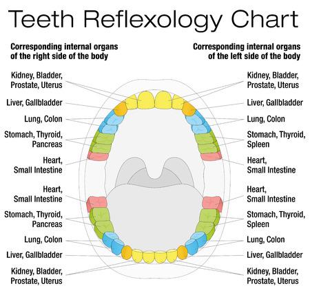 reflexologie: Dents réflexologie tableau - dents permanentes et leurs organes internes correspondants. Isolated illustration vectoriel sur fond blanc.
