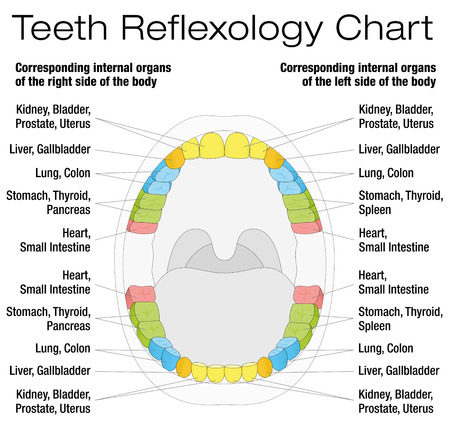 permanent: Teeth reflexology chart - permanent teeth and their corresponding internal organs. Isolated vector illustration over white background.