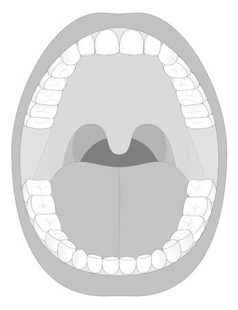 vuxen: Disposition illustration av en öppen vuxen mun med trettiosex permanenta tänder. Abstrakt isolerad vektor illustration på vit bakgrund.