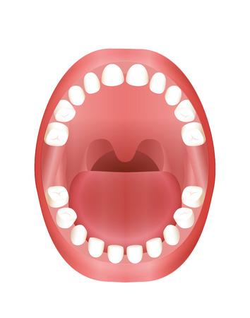 Milchzähne - childrens Mund-Modell mit Ober- und Unterkiefer und seine zwanzig Milchzähne - dreidimensionale Vektor-Illustration auf weißem Hintergrund.
