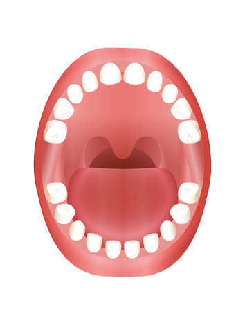 Primary teeth - childrens mouth model with upper and lower jaw and its twenty temporary teeth - three-dimensional vector illustration on white background. Ilustração