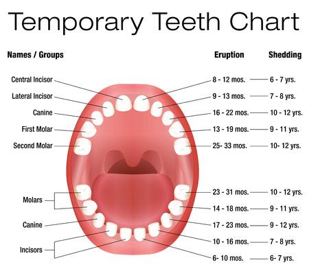 Dientes temporales - nombres, grupos, período de erupción y desprendimiento de los dientes de los niños - ilustración vectorial en tres dimensiones sobre fondo blanco.