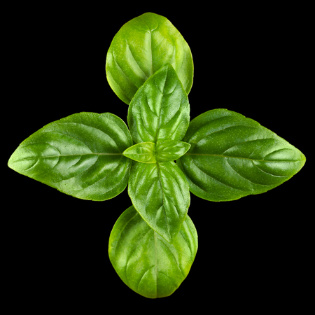basil: Young Sweet Basil leaves. Macro photo from above on black background. Stock Photo
