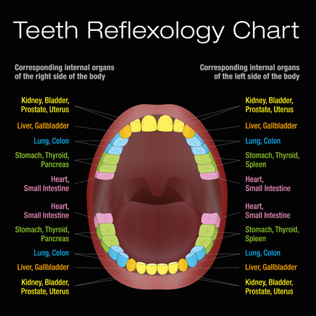 Teeth reflexology chart - alternative dental health care of permanent teeth and their corresponding internal organs. Vector illustration on black background. Illustration
