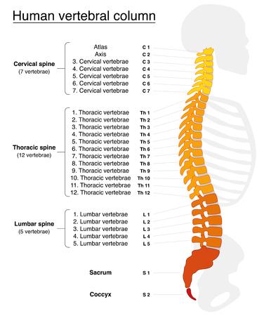 La columna vertebral con nombres y números de las vértebras - vista lateral - colores ardientes. Ilustración vectorial aislados en fondo blanco.