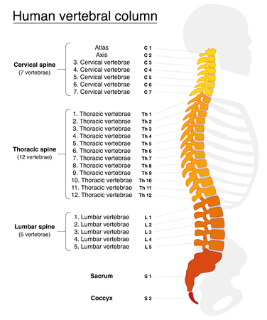 columns: Vertebral column with names and numbers of the vertebras - lateral view - fiery colors. Isolated vector illustration on white background.