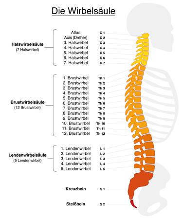 colonna vertebrale: Colonna vertebrale umana con nomi e numeri delle vertebre - ETICHETTATURA TEDESCO! Illustrazione vettoriale isolato su sfondo bianco.