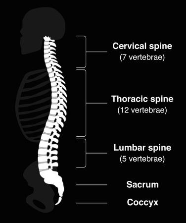 Espina dorsal humana con los nombres de las secciones de la columna vertebral y los números de las vértebras. Ilustración vectorial aislados en fondo negro.
