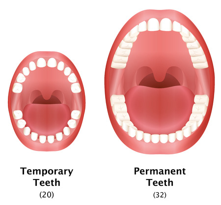 Comparison of temporary teeth of a child and permanent teeth of an adult natural dentition. Isolated vector illustration on white background.