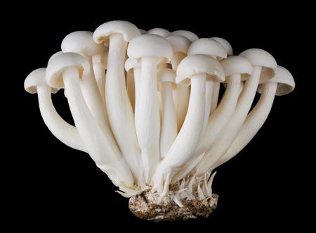 hongo: shimeji Bunapi, setas de la haya blanca, también llamada setas de concha blanca, un hongo comestible en el fondo negro. Vista frontal Foto de la macro. Foto de archivo