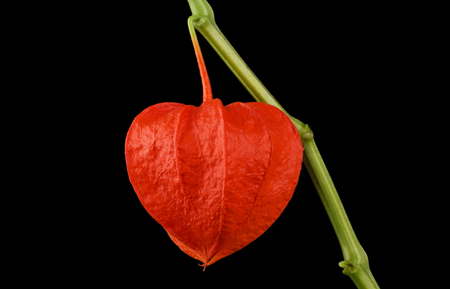 alkekengi: Heart shaped Chinese lantern, physalis alkekengi macro photo on black background. Also known as bladder cherry, Japanese-lantern, strawberry groundcherry, winter cherry or in Japan as Hozuki.