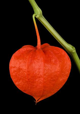 winter cherry: Physalis alkekengi, heart shaped Chinese lantern macro photo on black background. Also known as bladder cherry, Japanese-lantern, strawberry groundcherry, winter cherry or in Japan as Hozuki. Stock Photo