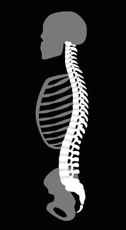 colonna vertebrale: scheletro superiore del corpo con la spina dorsale, ossa del cranio, costole e del bacino - vista laterale. Illustrazione su sfondo nero.