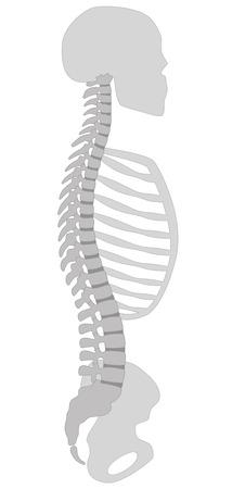 人間の背骨、頭蓋骨、胸郭、骨盤の骨の断面図。白い背景の上の図。